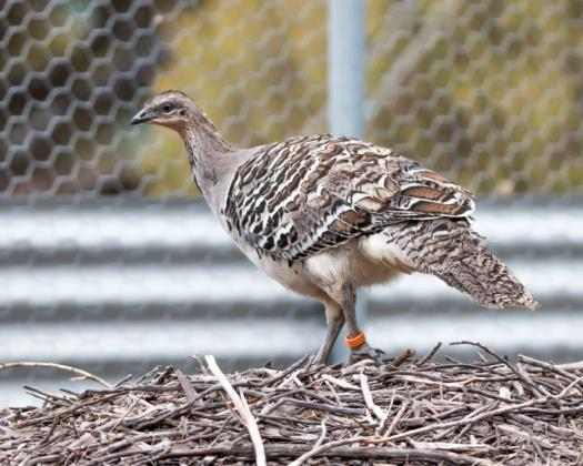 Great Southern Outback Tours, mallee fowl
